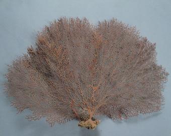 "13"" x 8.7"" Pacifigorgia Red  Sea Fan Seashells Reef Coral"