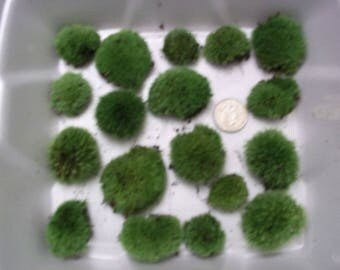 Live Cushion Moss - 3 Dozen!! Small Size