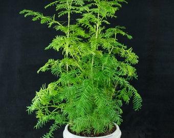 Chinese Dawn Redwood Shohin Bonsai Tree - Metasequoia glyptostroboides # 3516