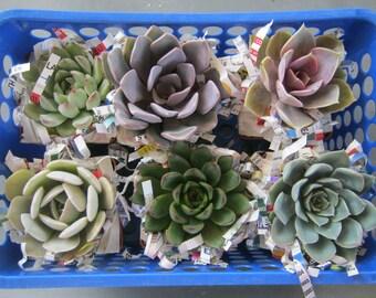6 Echeveria Succulent Rosette Plant Collection Live