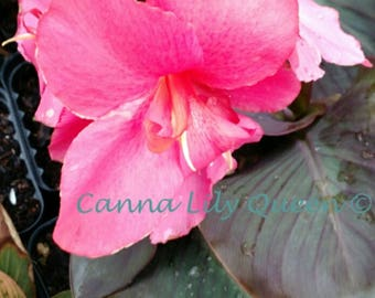 Fantastic Dwarf Pink Wine Canna bulb/plant Hummingbirds live Canna Lily. Will bloom this Year!
