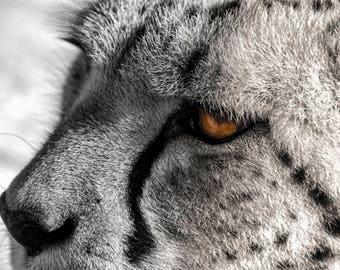 Cheetah Photo, Black, white, gold, amber, fine photography prints, Jubatus