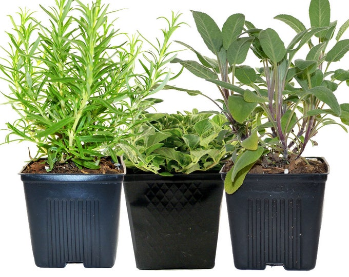 Rosemary Oregano Sage Set of 3 Plants Herb Collection Gourmet Assortment of Organic Herbs  - Great Gift Herb Kit Non-GMO