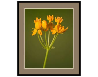 Milkweed / Butterfly Weed photography instant download, 8x10, square, 4x6, A4, wall art, home decor, nature photography