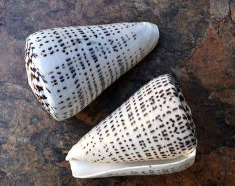 "Leopard Cone Seashell (4-5"") - Conus Leopardus"