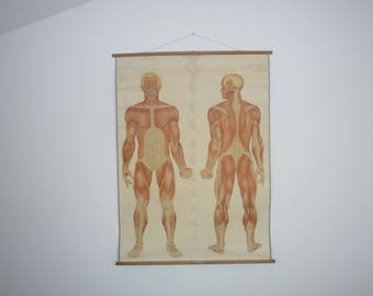 Original Vintage School Wall Pull Down Chart Map of the human muscles Front  & Behind 1920/30 School of Swiss red cross Medical Anatomy body