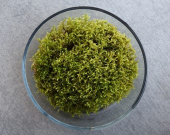 Fresh Live Sheet Moss (For Terrariums, Fairy Gardens, Moss mats)