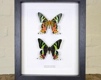 Double Madagascan Sunset Moth (Chrysiridia Rhipheus)