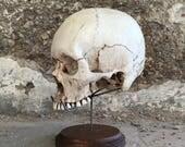 SKULL NOT INCLUDED Authentic Real Human Skull Display Taxidermy Oddity Resin Skull, Sculpt skull, Replica Skull, Life Size Skull Stand