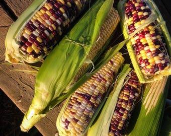 Festivity Sweet Corn 25 seeds
