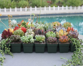 YOU CHOOSE 4: Group of Four Colorful Succulents in Square Pots, Succulent Plants, Hens and Chicks, Wedding Favors, Party Favors