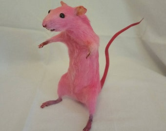 Bubblegum Pink / Bright Pink Rat, Taxidermy, Scary (not very scary), Freestanding, Large