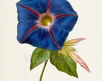 Blue Morning Glory Flower Art Print, Botanical Art Print, Flower Wall Art, Flower Print, Floral, blue flower art print