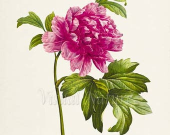 Moutan Peony Flower Art Print, Botanical Art Print, Flower Wall Art, Flower Print, Floral Print, Pink Peony Art Print