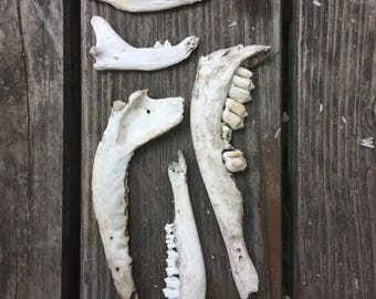 Real Animal Jaw Bones (Low Craft Grade Partial Skulls Deer Raccoon)