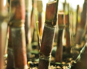 "Red Sugar Cane Plant - 6"" Pot - Established Live Plant- Naturally Grown - Quality Assurance - Permaculture Plant"