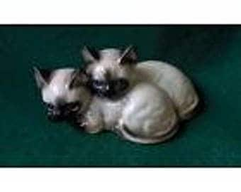 Lovely siamese cats