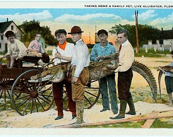 Antique Florida Postcard - Taking Home a Family Pet ... Live Alligator (Unused)