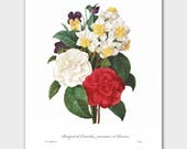 French Country Print, Camellia Art (Botanical Flower Print, French Home Decor) -- Pierre Redoute
