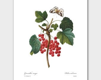 Red Berries Wall Art (Botanical Fruit Print, Kitchen Decor) -- Pierre Redoute