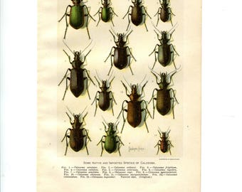 Antique Color Print - Beetles - Vintage Color Botanical Print - Entomology
