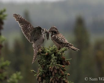 Owl Love - Hawk Owl Presenting its Mate with a Lemming Gift in the Rain - Nature and Wildlife Photography Wall Art Courtship Gift - Alaska
