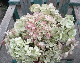 New lower price!- Dried hydrangea flowers- red and green bouquet/ craft flowers- Mopheads and lacecaps
