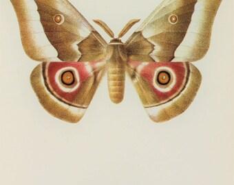 Large Vintage Moth Print, Nudaurelia Saturnid Moth 1960s Colour Print, Wall Art