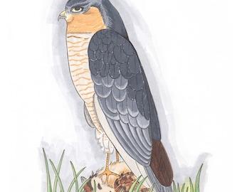 Brown Goshawk Illustration Giclee Print