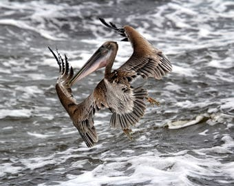 Brown Pelican Changing Direction in Flight while Fishing