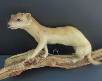 Vintage Least Weasel Taxidermy