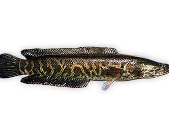Northern Snakehead Decal, Northern Snakehead Sticker