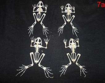 Taxidermy Real Frog Skeleton 4 Pcs