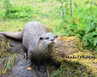 Otter Print, Wildlife Print, Nature Photograph, Color Photograph, Wildlife Photograph, Wildlife Photography, A4 or A3 Size.