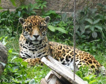 A beautiful leopard just relaxing in the sun