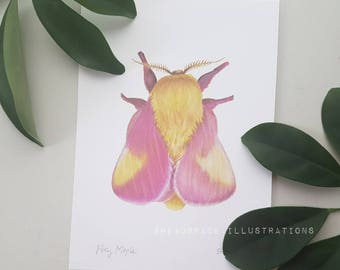 Rosy Maple Moth Pink Yellow Insect Colored Pencil Bug Nursery Scientific Natural History Art Print Headspace Illustrations