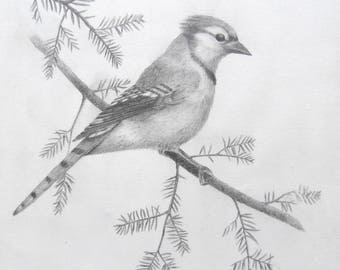 Blue Jay -- Graphite drawing