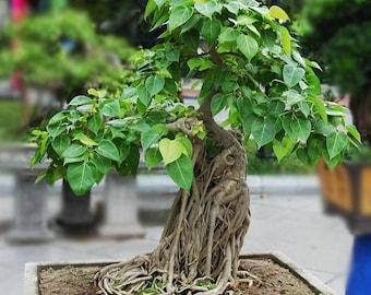 Ficus Religiosa 20 Seeds, Sacred Fig- Unique Bonsai