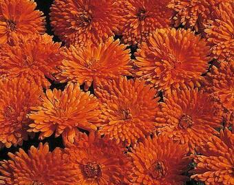 Calendula 'Porcupine' Seeds/ Calendula officianalis AKA English Pot Marigold