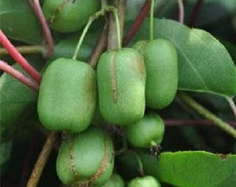 Actinidia arguta female plant, 6-8 inches, Anna kiwi Edible tasty fruits