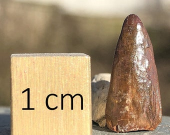 Pterosaur [Pterodactyl] Dinosaur Tooth Fossil - found in Morocco - Cretaceous Period - FST015