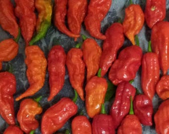 Fresh 2017 Bhut Jolokia Ghost Peppers - Insanely Hot - Fresh Hand Picked Pods