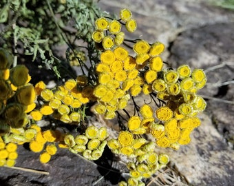 Dried Tansy, Long-stemmed, Dried Wildflowers, Yellow Flowers, Dried Flower Bouquet, Flower Potpourri, Common Tansy, Tanacetum vulgare