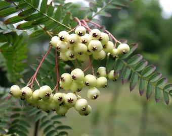 10 Sorbus  affinis koehneana Seeds