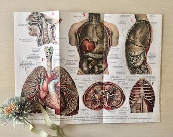 Vintage Medical Illustration -1940's