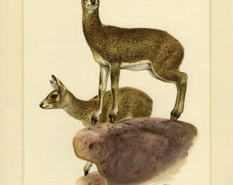 Vintage lithograph of the klipspringer from 1956