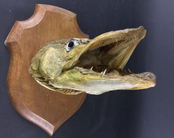 Taxidermy authentic head Pike trophy - vintage curiosity cabinet-