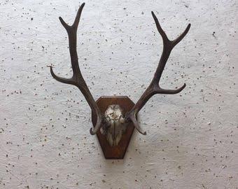 Vintage Taxidermy Deer Antlers