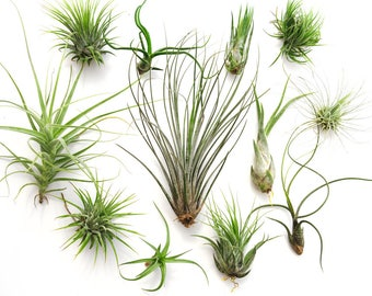12 Air Plant Variety Pack, Terrarium Plants, Succulent Air Plant Terrarium, Wholesale Air Plants, Tillandsia, Large Air Plant Sale, Airplant
