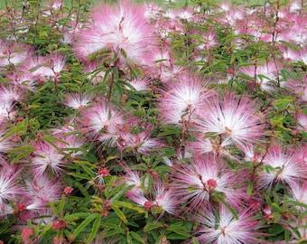Calliandra Brevipes - Pink Lilian (Pink Powder Puff)